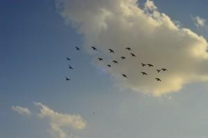 طيور مسافرة